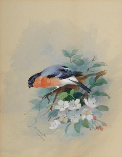 Archibald Thorburn (1860-1935) - Bullfinch on a branch of apple blossom signed and dated A Thorburn 1909 bottom left watercolour and bodycolour 21.5 x 165cm.