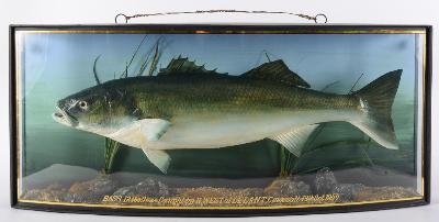 Sale SC20; Lot: 0051: A cased preserved Bass by J Cooper, London, in a naturalistic setting with label as per title to upper left, in a glazed bowfront case inscribed 'Bass 12lb 9oz Caught by R West at Lleant Cornwall 13th October 1950', 39 x 91 x 19cm.